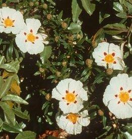 Farfalla Cisteroos (Cistrose) BIO 5 ml.