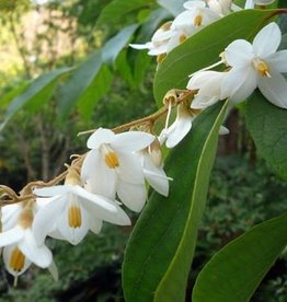 Farfalla Benzoe Abs. Resinoid 50% BIO 5 ml.