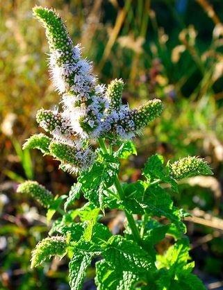 Farfalla Biologische groene munt etherische olie (nana) van demeter kwaliteit uit biologisch dynamische teelt.