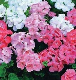 Farfalla Geranium-rozen (Rosengeranie) BIO-demeter 5 ml.