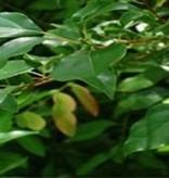 Farfalla Ho Hout  (Ho Holz) etherische olie bio . 5 ml.