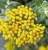 Farfalla Helichrysum (Strobloem-Immortelle) BIO 1 ml