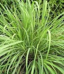 Farfalla Lemongrass etherische olie BIO 10 ml. Grand Cru