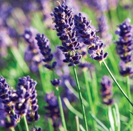 Farfalla Lavendel fijn etherische olie BIO 10 ml KbA kwaliteit.