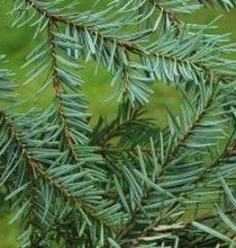 Farfalla Zilverspar (Weisstanne) BIO KbA 5.ml