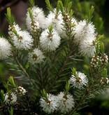 Farfalla Tea Tree (Melaleuca) etherische olie BIO Grand Cru 10 ml.
