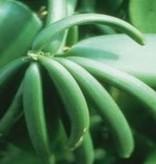 Farfalla Vanille Extract (absolue) 5 ml. BIO