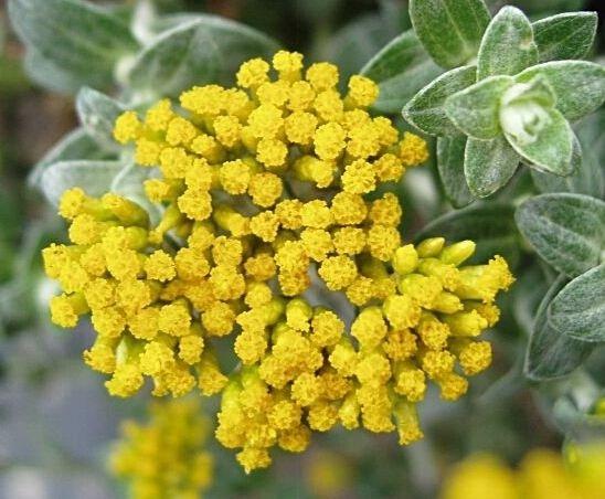 Farfalla Helichrysum (Strobloem-Immortelle) Hydrolaat 75 ml. BIO