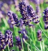 Lavendelhydrolaat BIO