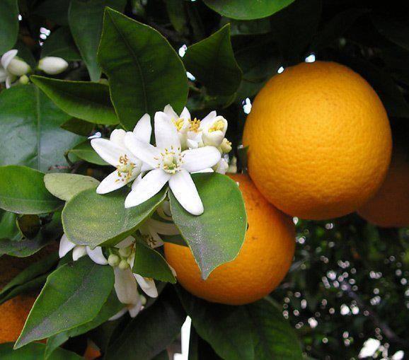 Oranjebloesemhydrolaat (Neroli) BIO 75 ml.