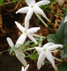 Farfalla Jasmijn Egypte 5% Abs. (Jasmin Ägypten) 5 ml.