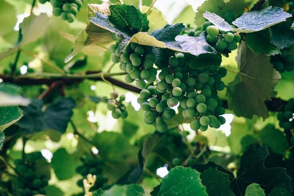 druiven voor champagne