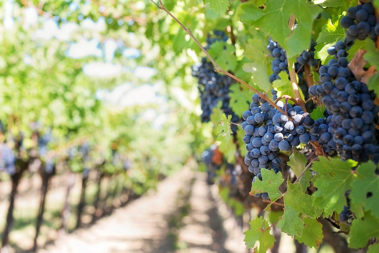 Wijngaarden Champagne op Werelderfgoedlijst geplaatst