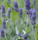 Lavendelzeep