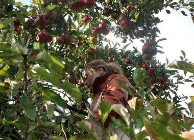 http://www.werfzeep.blog/oogst-nl/het-jaarlijkse-appels-plukken/