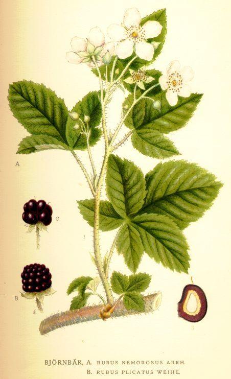 braam botanisch