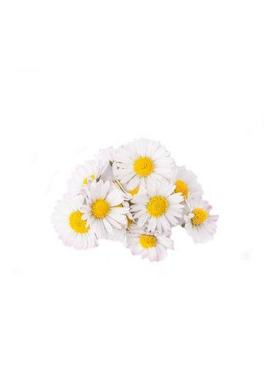 Gänseblümchen | ganz | Bio