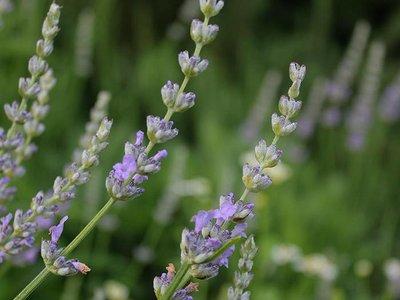 OSHADHI AROMATHERAPY Speik Lavendel  Hydrolaat Bio