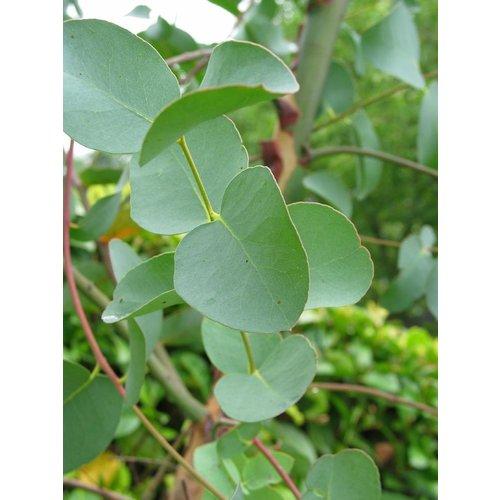 OSHADHI AROMATHERAPY Eucalyptus Hydrolaat Bio