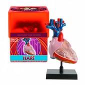 Ein-O Science Anatomie Hart