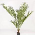 Areca-palm Plant 180cm Groen