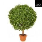 Buxus Plant 65cm Groen