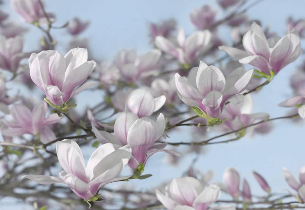 Flower & Textures Edition 1 Fotobehang Komar Bloemen Behang Magnolia