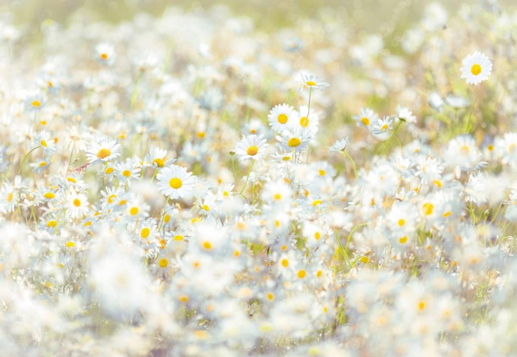 Flower & Textures Edition 1 Fotobehang Komar - Bloemen behang Daisies
