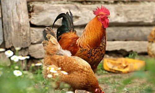 Große Auswahl an Hühnerfutter