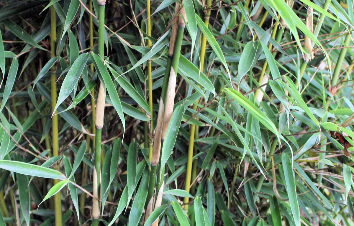 Bambus Robusta Campbell kaufen