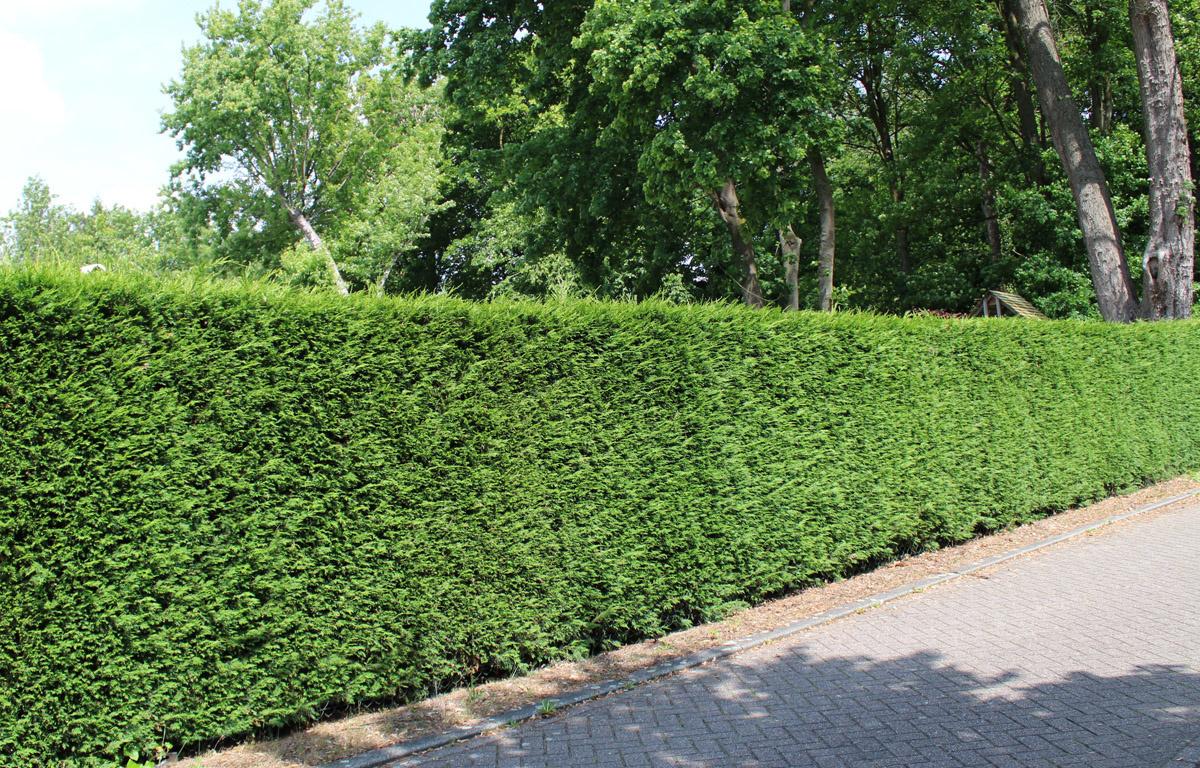 Lebensbaum Brabant Hecke