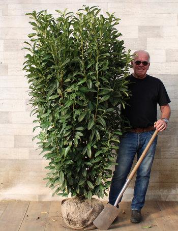 Haagplanten van 180 - 200 cm