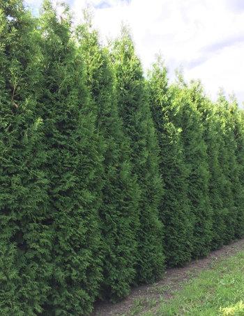 Haagplanten boven de 250 cm