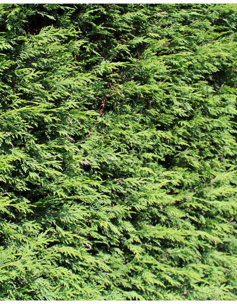 Lebensbaum Brabant 125-150cm
