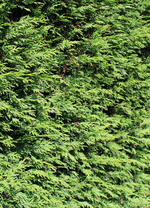 Conifeer Brabant 225-250cm