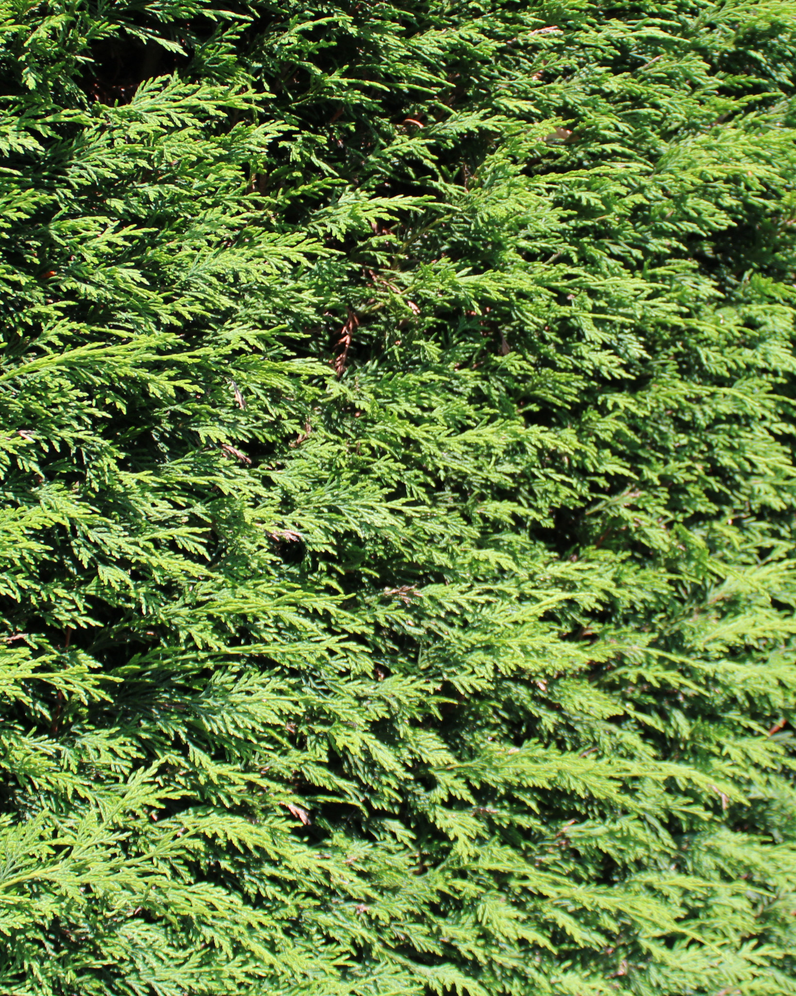Lebensbaum Brabant 300-325cm