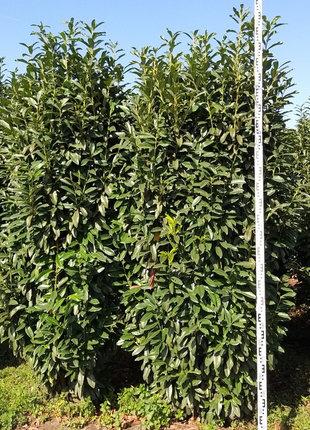 Kirschlorbeer Genolia 250-275cm