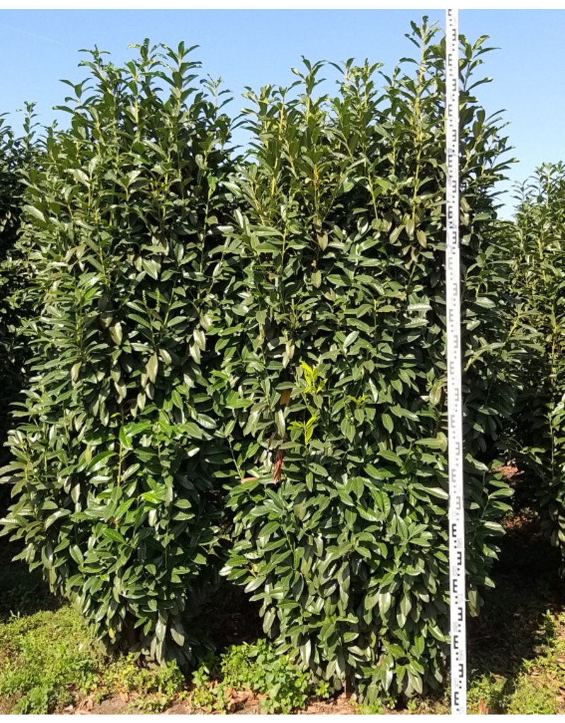 Laurier Genolia 250-275cm
