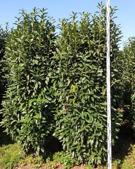 Kirschlorbeer Genolia 250-275cm mit Ballen
