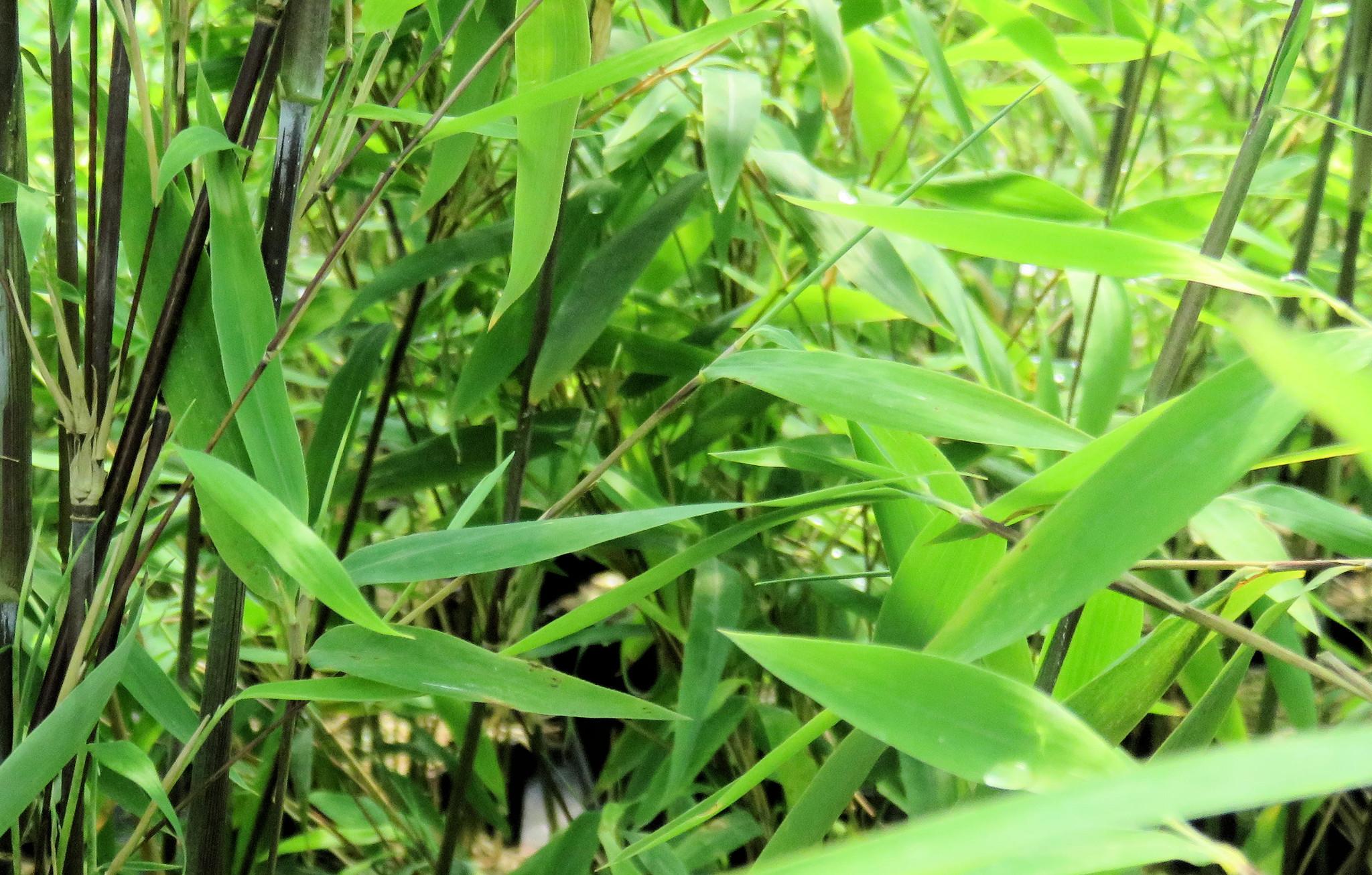 Bambus ohne Ausläufer kaufen