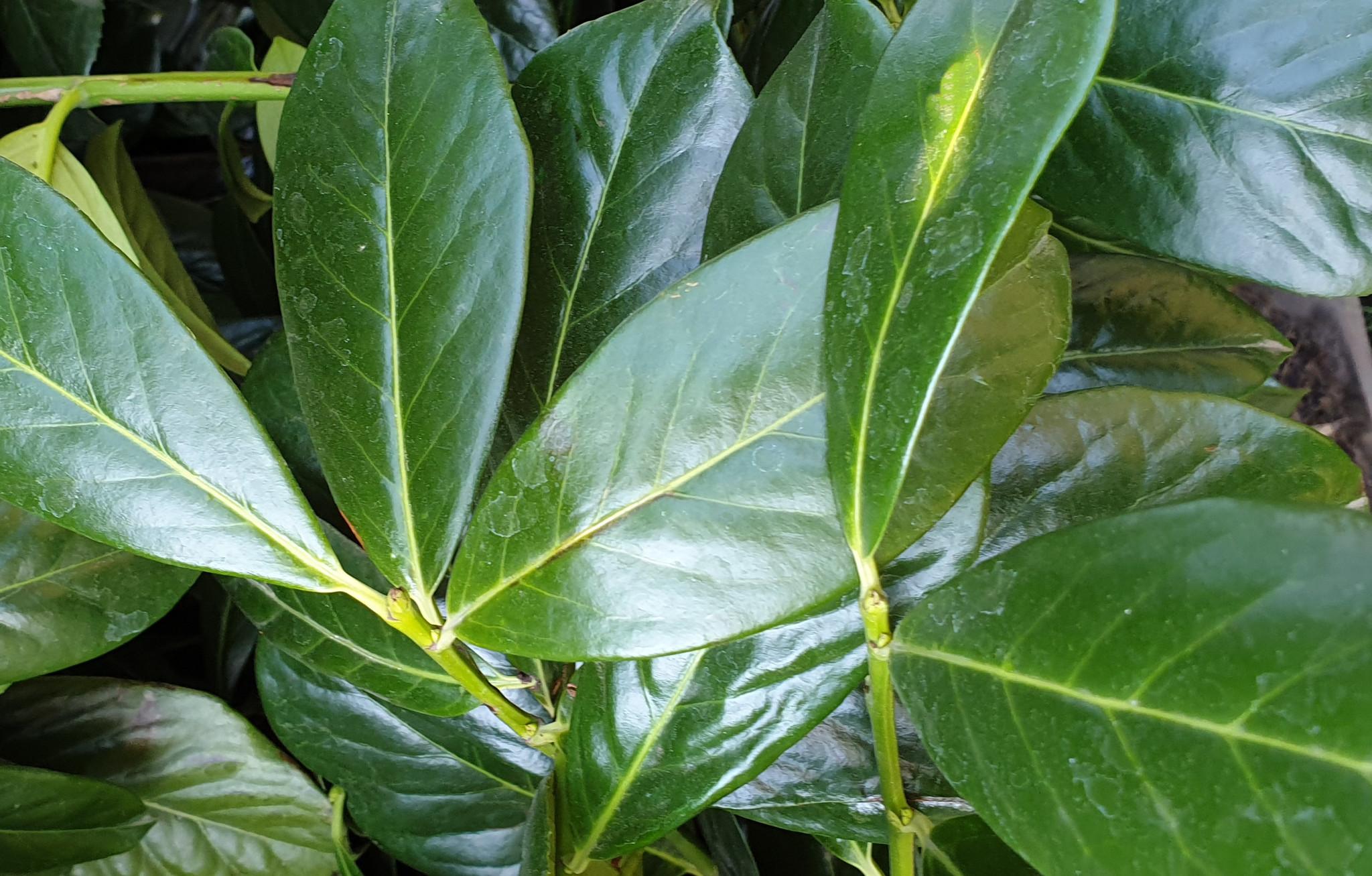 Großblättriger Prunus Novita Kaufen
