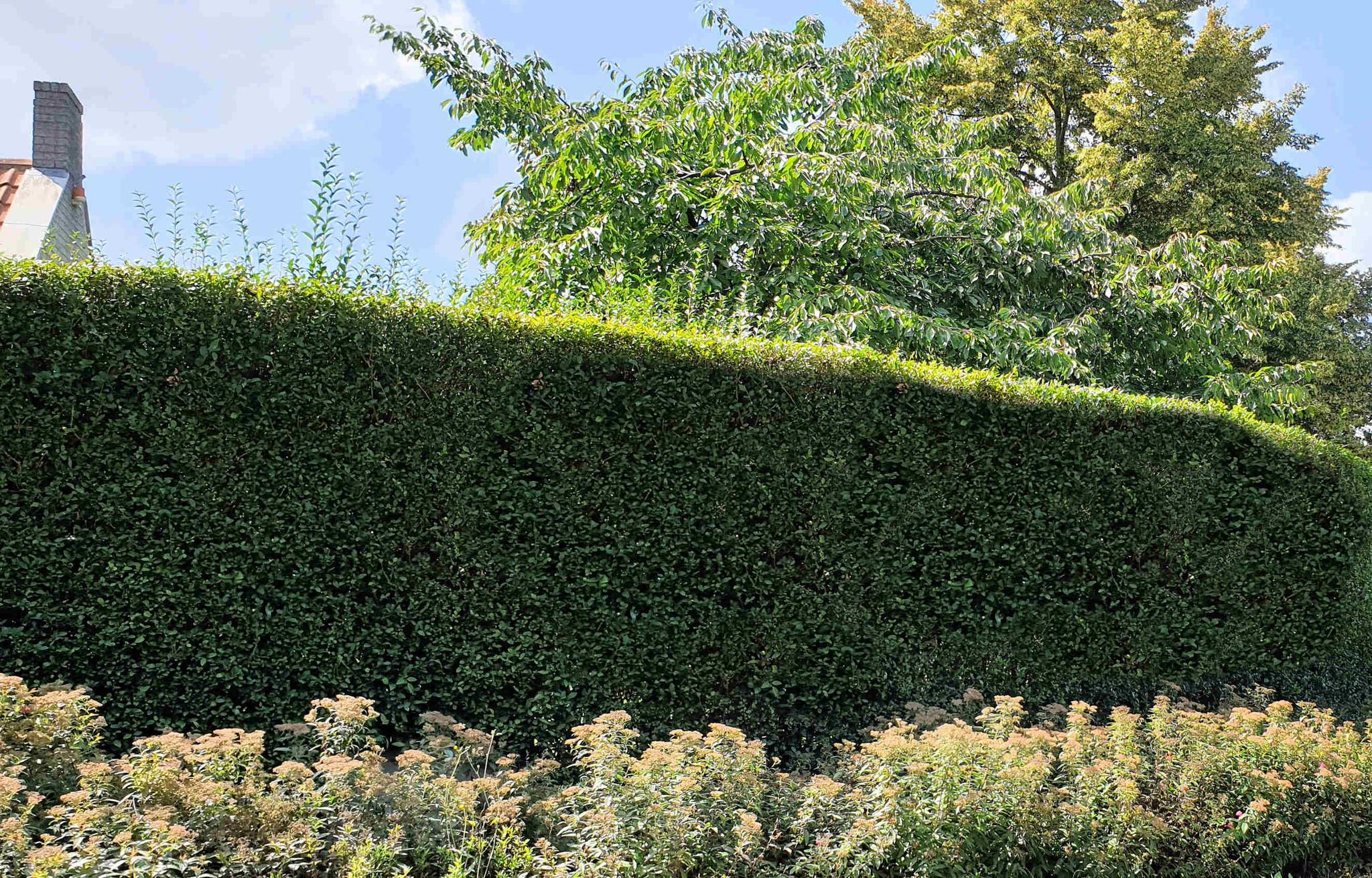 Ligusterhaag planten per meter