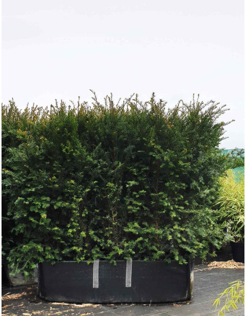 Taxus 100cm Haagelement