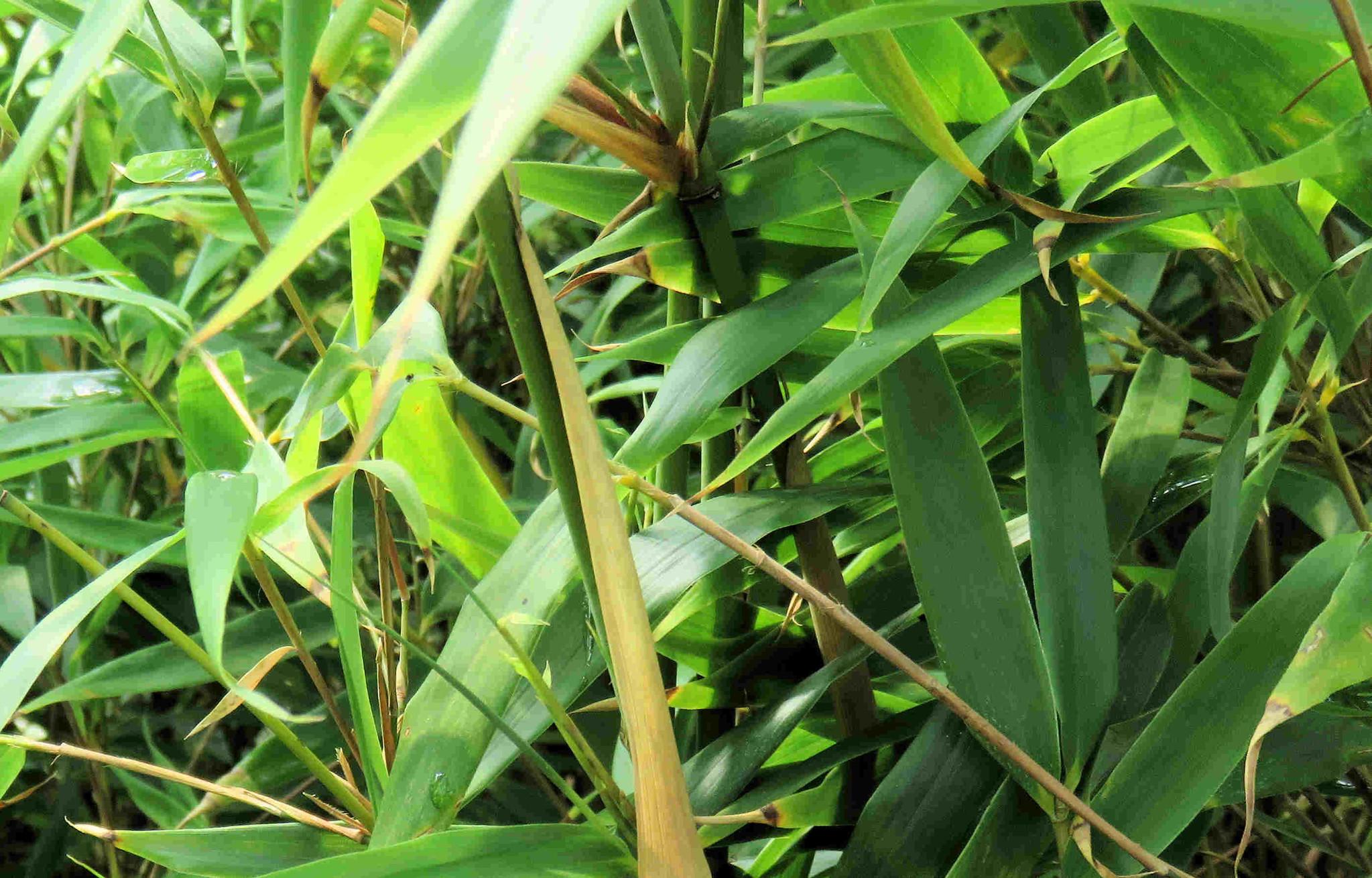 Bambus Rufa Kaufen