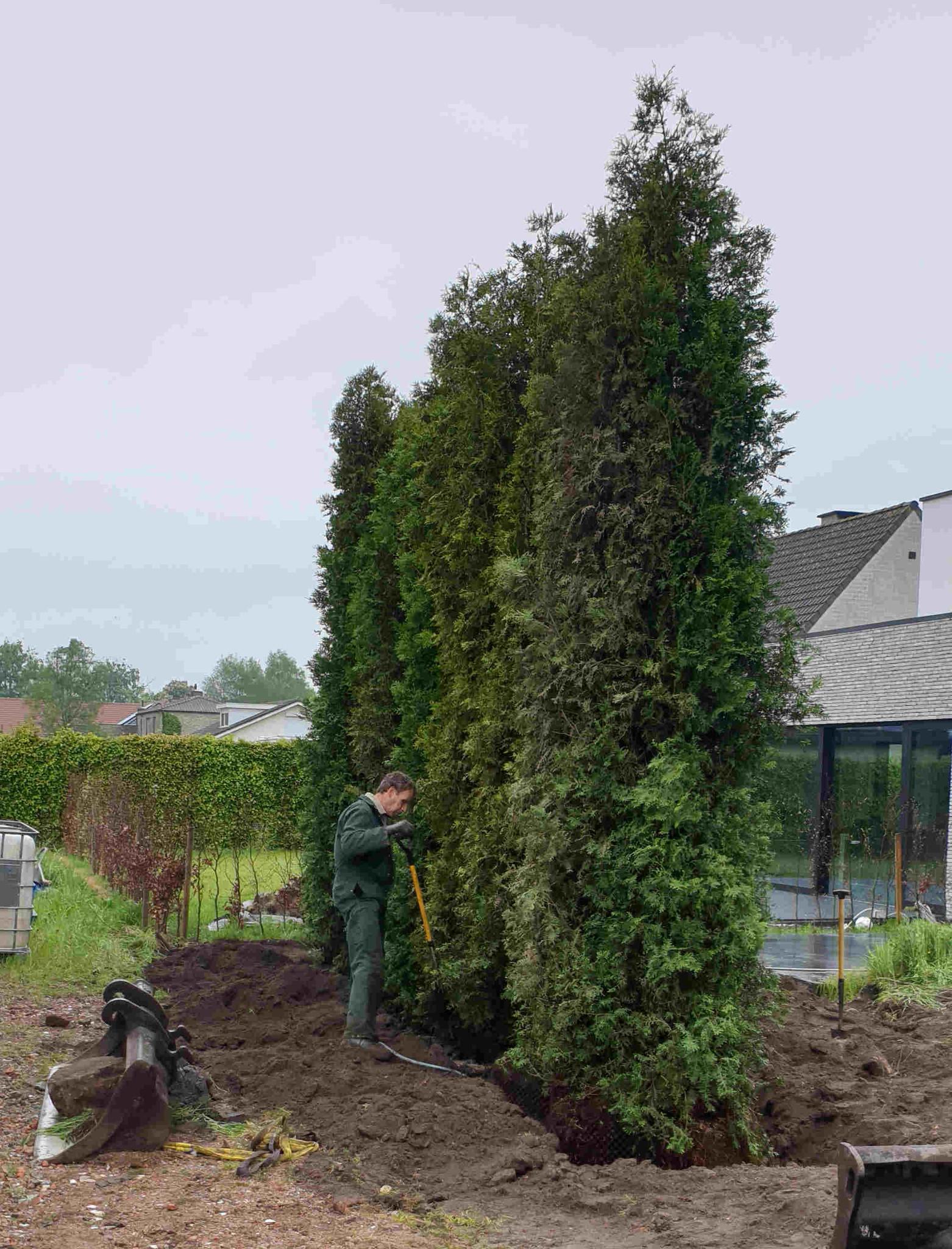 Grote coniferen kopen