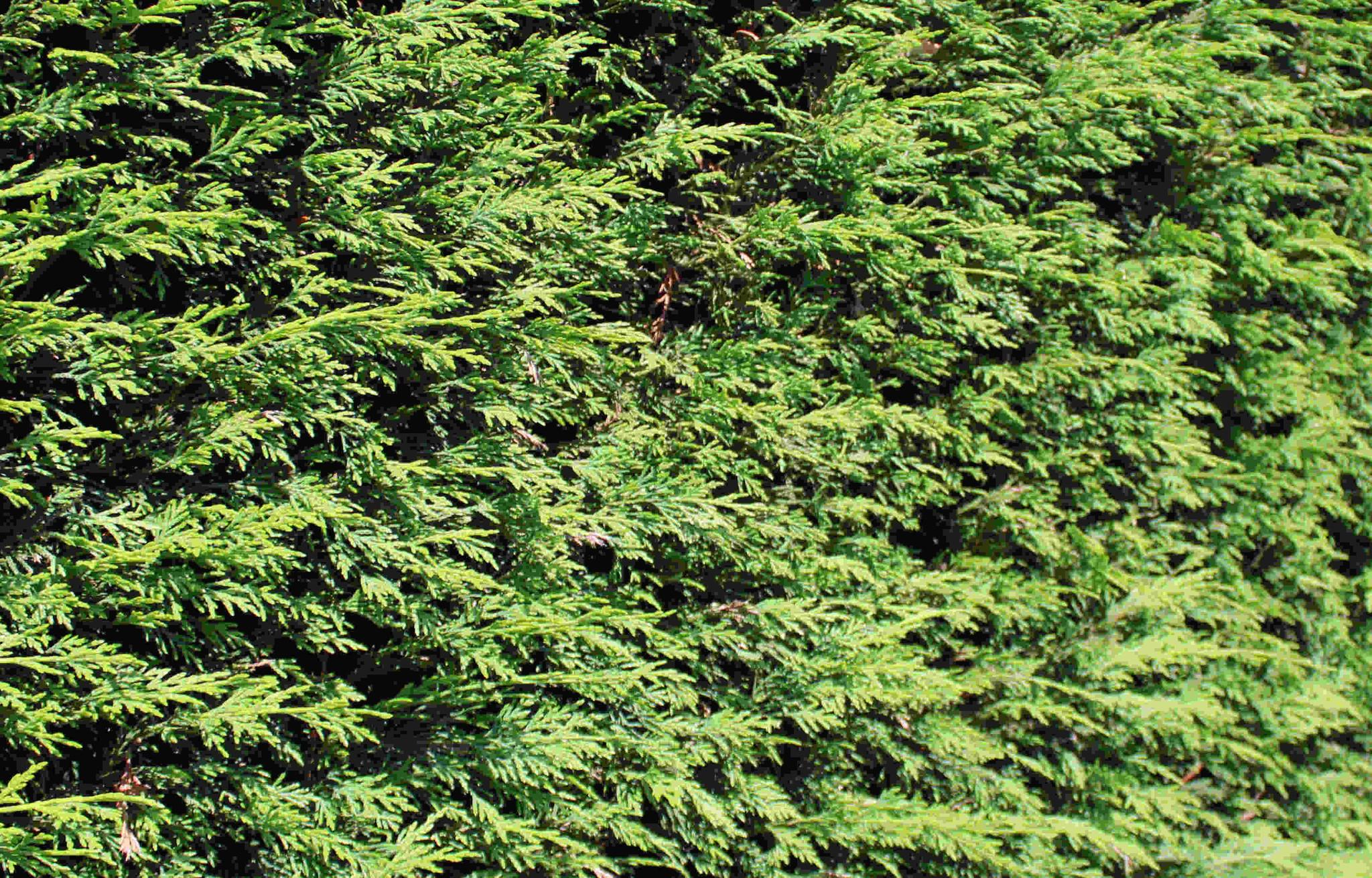 Wanneer coniferen aanplanten