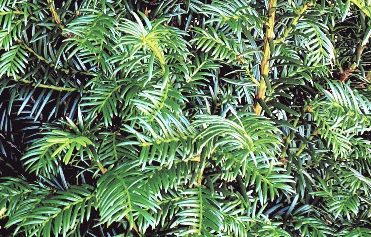 venijnboom kopen