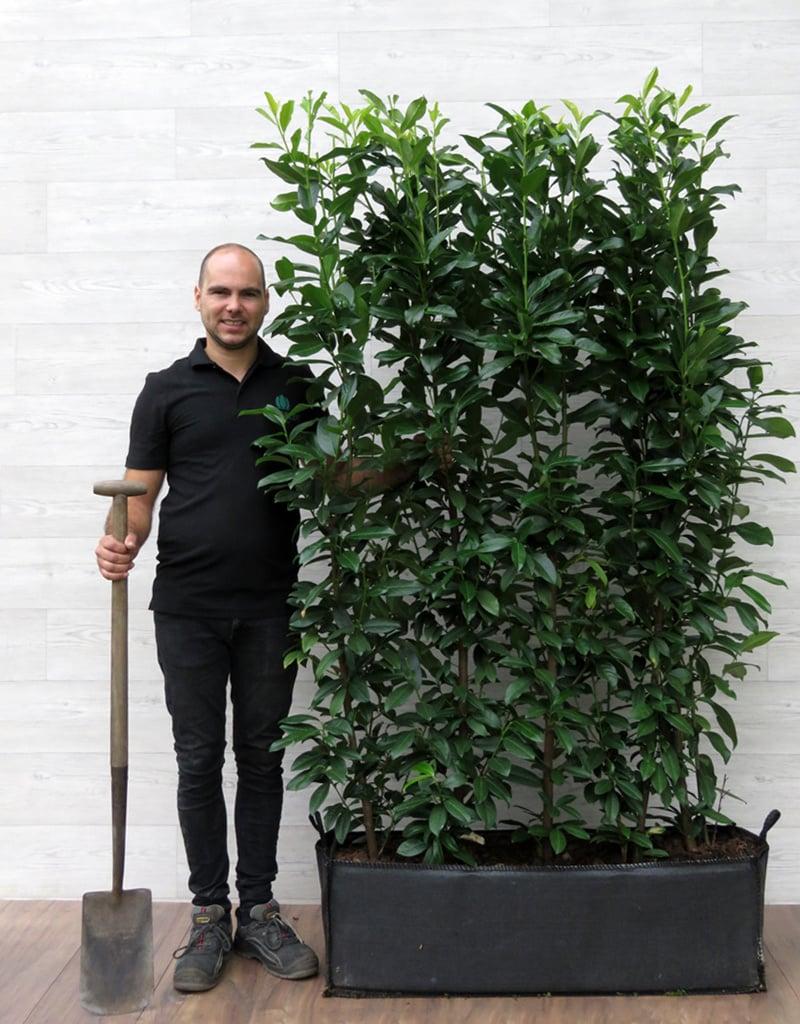 Laurier Genolia 180cm Haagelement
