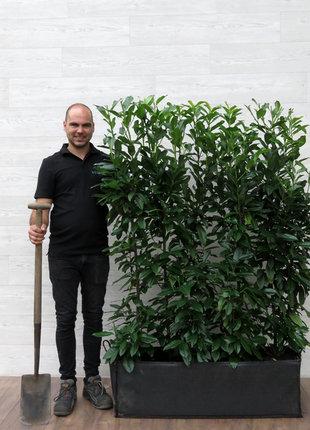 Laurier Genolia 150cm Haagelement