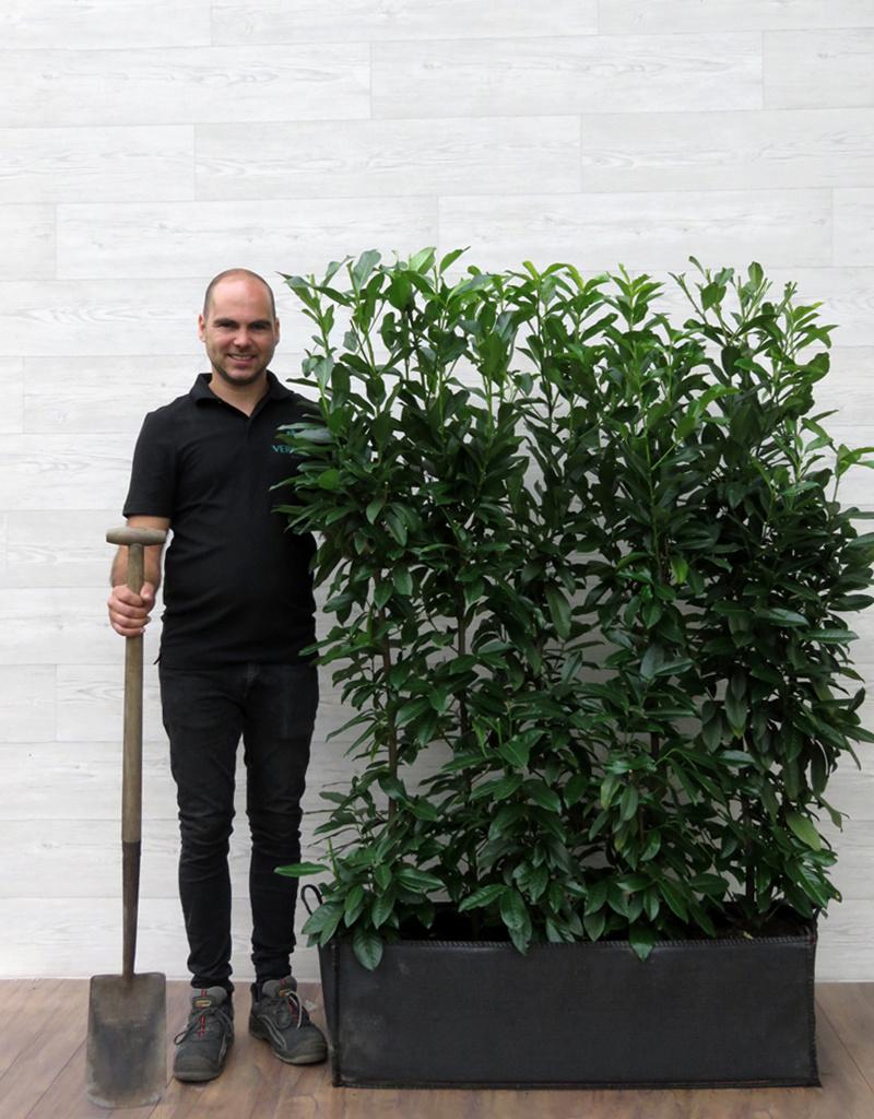 Laurier Genolia 160cm Haagelement